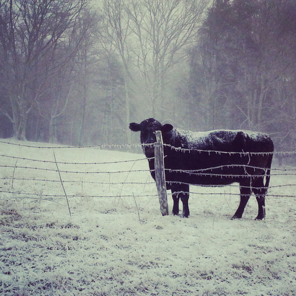 december 29 2012 cow ice snow