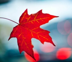 Leaf red 350 x 304