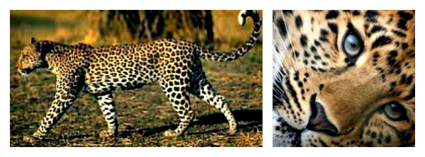 Leopard facebook header 600x222